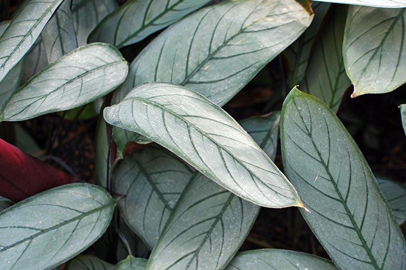 A close up horizontal image of the foliage of Ctetanthe setosa growing indoors.