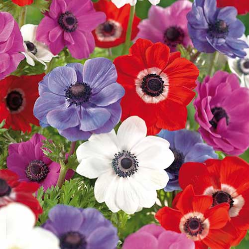 A close up square image of red, blue, white, and pink 'De Caen' anemone flowers growing in the garden with foliage in soft focus in the background.