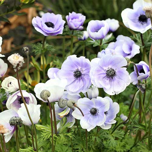 A close up square image of delicate blue and white 'De Caen' anemones growing in the garden pictured on a soft focus background.