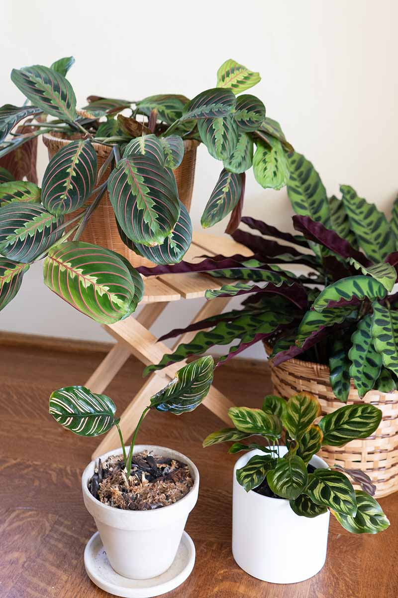 A close up vertical image of several different species of prayer plants in various sizes growing in pots indoors set on a wooden surface.
