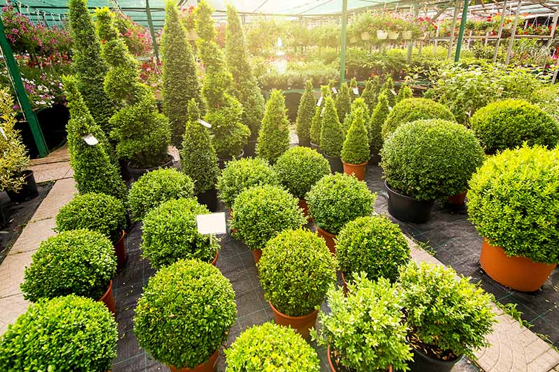 A horizontal image of a number of different Buxus shrubs available in a variety of shapes and sizes at a plant nursery, pictured in filtered evening sunshine.