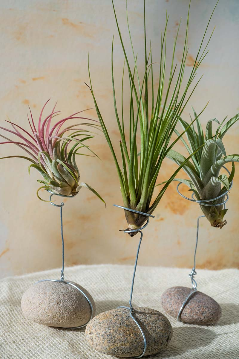 A close up vertical image of three air plants growing on wire stands anchored by smooth rocks, set on a fabric surface pictured on a soft focus background.