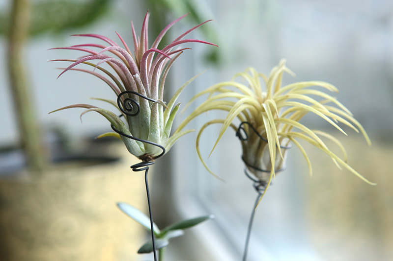 A close up horizontal image of two air plants growing in small wire stands pictured on a soft focus background.