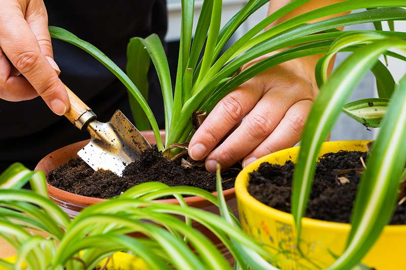 A close up horizontal image of two hands on the left of the frame digging up a small Chlorophytum comosum for repotting.