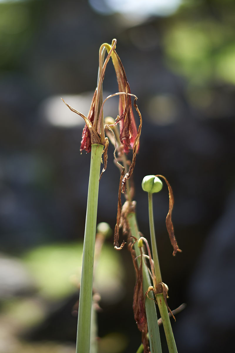 A close up vertical image of a Hippeastrum plant that is dying off as a result of a disease, pictured on a soft focus background.