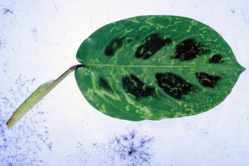 A close up horizontal image of a leaf infected by Cucumber Mosaic Virus set on a white surface.