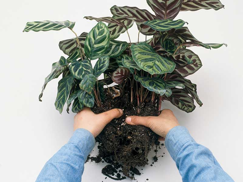 A close up horizontal image of two hands from the bottom of the frame removing surplus compost from around the roots of a prayer plant in order to divide it for propagation.