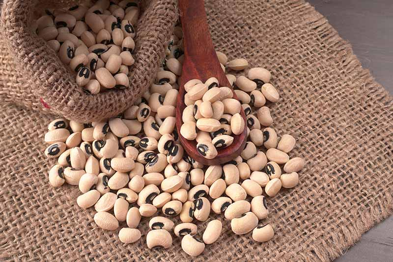 A close up horizontal image of Vigna unguiculata beans that have been dried, set on a jute fabric, with a wooden spoon in the background.