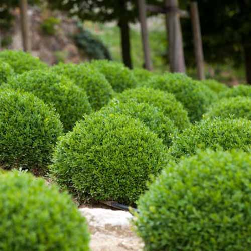 A close up square image of Buxus sempervirens 'Suffrictosa' growing in the garden with trees in soft focus in the background.