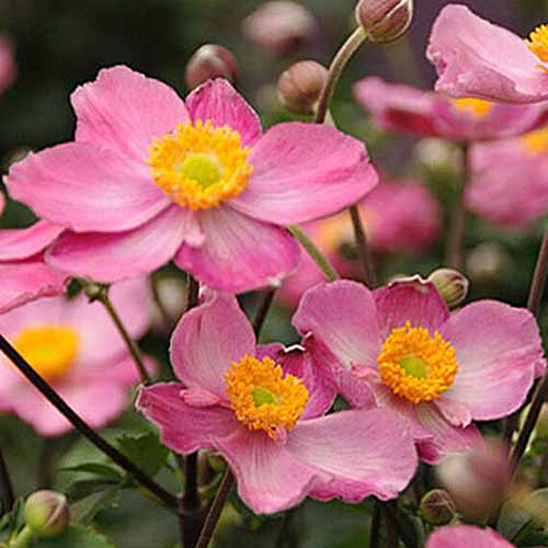 A close up square image of pink 'Cinderella' anemone flowers growing in the garden pictured on a soft focus background.