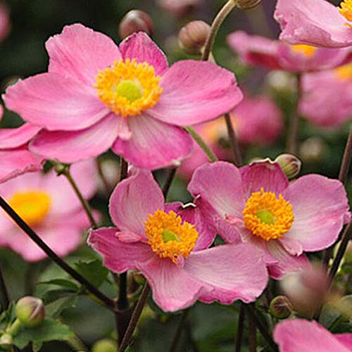 A close up square image of bright pink 'Fantasy Cinderella' flowers with yellow centers growing in the garden pictured on a soft focus background.