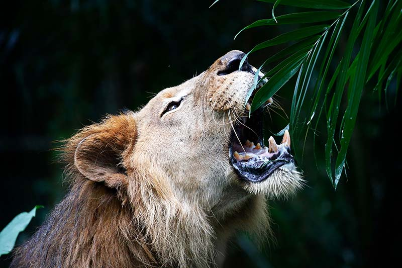 A close up horizontal image of a lion eating a plant pictured on a dark soft focus background.