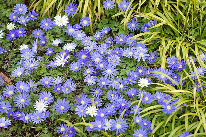 A close up horizontal image of blue and white Grecian windflowers growing in the garden with foliage in the background.
