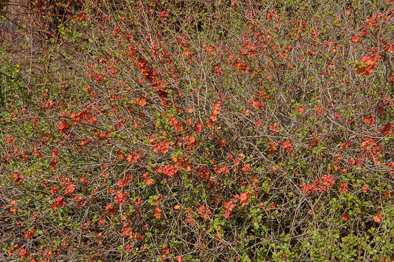 A horizontal image of a large, tangled flowering quince shrub with red flowers growing in the garden.