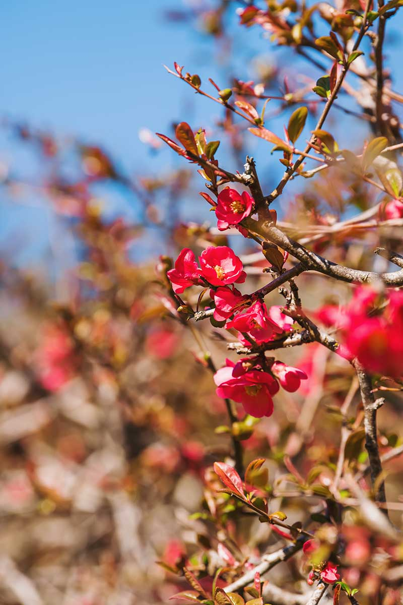 A close up vertical image of a flowering quince plant blooming with red flowers in the garden with a blue sky background.