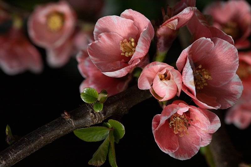 A close up horizontal image of the bicolored salmon-pink and white flowers of Chaenomeles japonica growing in the garden pictured on a soft focus background.