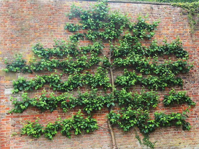 A horizontal image of a Chaenomeles speciosa espaliered up a brick wall.
