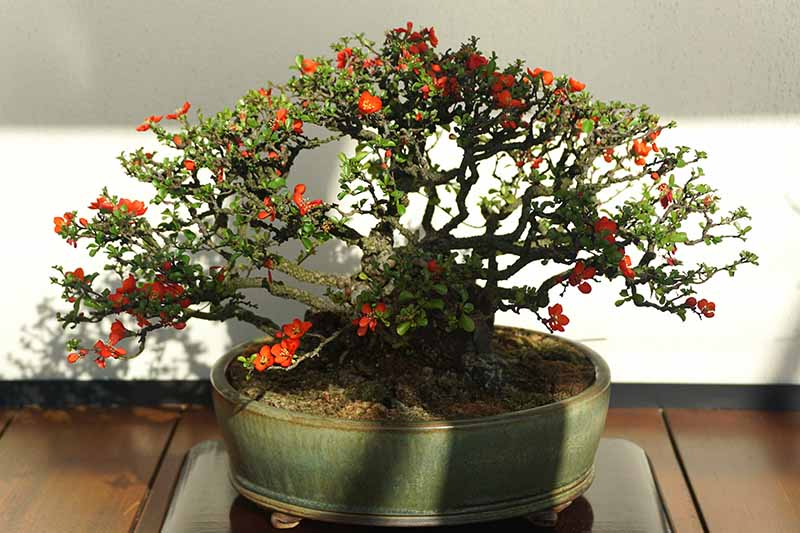 A close up horizontal image of a flowering quince shrub trained into a bonsai tree, pictured in light filtered sunshine.