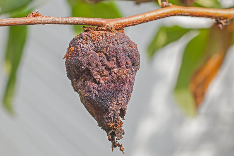 A close up horizontal image of a rotting fruit on a Chaenomeles plant pictured on a soft focus background.