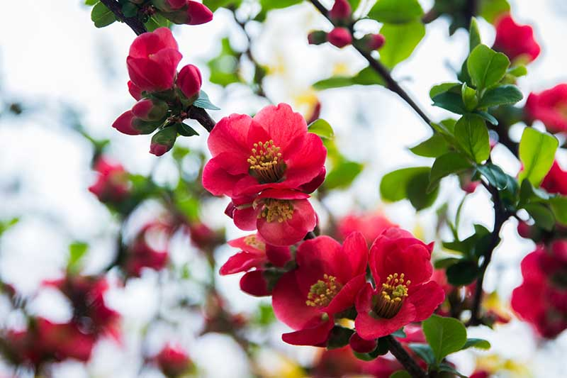 A close up horizontal image of the bright red flowers of Chaenomeles japonica pictured on a soft focus background.