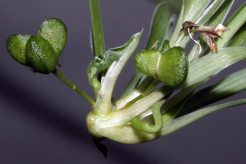 A close up horizontal image of Chlorophytum comosum fruit containing seeds pictured on a soft focus gray background.