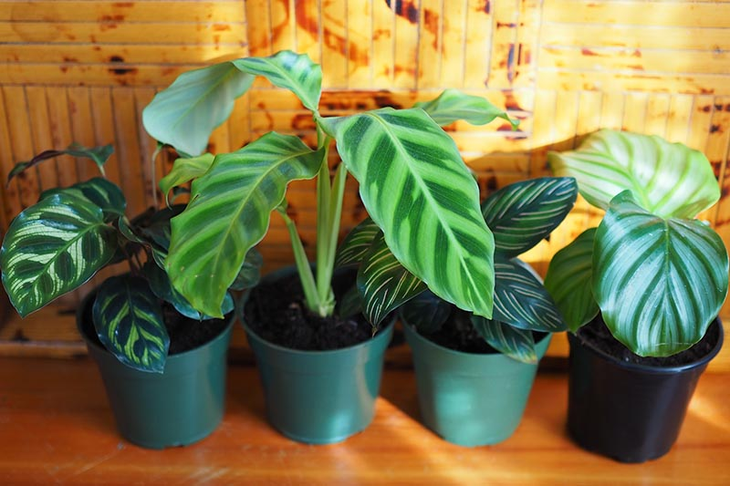 A close up of four calathea plants growing in plastic pots, set in a row on a wooden surface, pictured in bright sunlight.