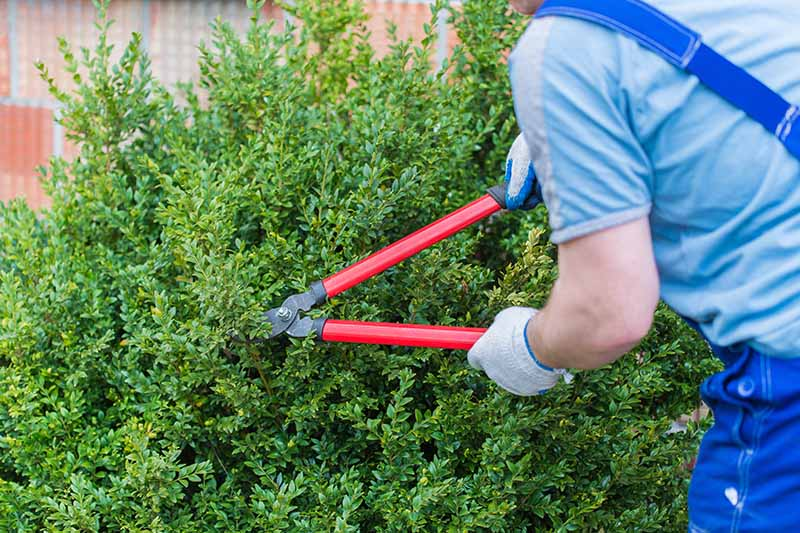 A close up horizontal image of a gardener from the right of the frame using large pruning shears to trim a shrub in the garden.