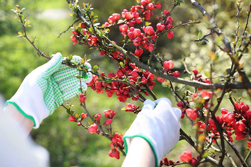 A close up horizontal image of a gardener wearing green and white gloves preparing to prune a flowering quince shrub, pictured in light sunshine on a soft focus background.
