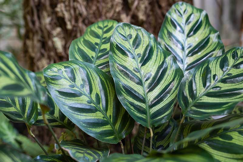 A close up horizontal image of Goeppertia makoyana prayer plant growing outdoors underneath a tree, pictured on a soft focus background.