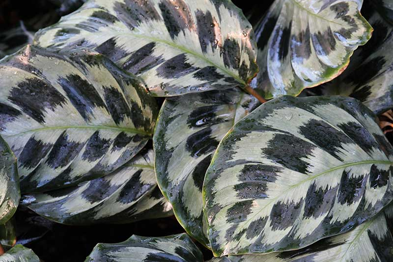 A close up horizontal image of the variegated foliage of Goeppertia dressleri 'Helen Kennedy' with droplets of water on the leaves pictured on a soft focus background.