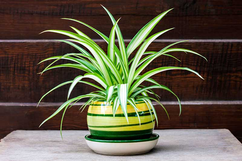A close up horizontal image of a Chlorophytum comosum in a decorative pot with a wooden wall in the background.