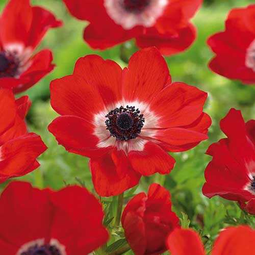 A close up square image of a bright red 'Hollandia' anemone flower with a white eye and dark center pictured on a green soft focus background.