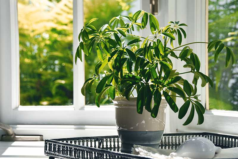 A close up horizontal image of a houseplant growing in a ceramic pot on a tray beside a window.