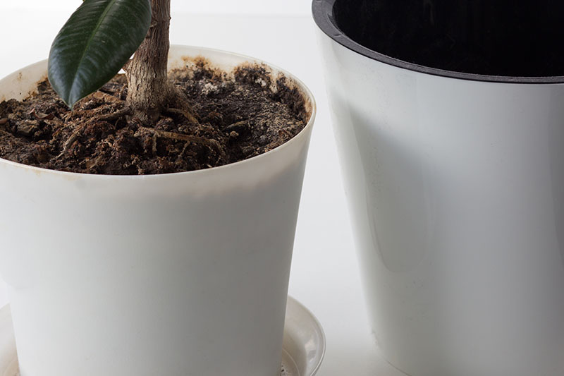 A close up horizontal image of a potted plant with its roots poking through the top of the soil indicating that it needs to be repotted.