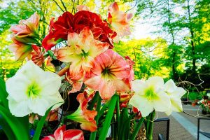 How to Grow Amaryllis (Hippeastrum) from Seed