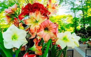 How to Grow Amaryllis from Seed - Cover