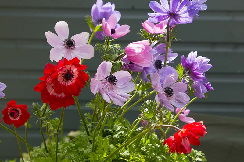 A close up horizontal image of pink, red, and purple flowers growing in the garden with a fence in soft focus in the background.