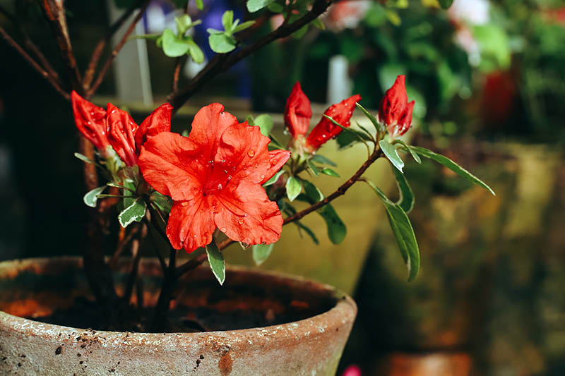 A close up horizontal image of a bright red flower growing in a terra cotta pot pictured on a soft focus background.