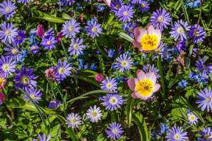 How to Plant and Grow Grecian Windflowers (Balkan Anemones)