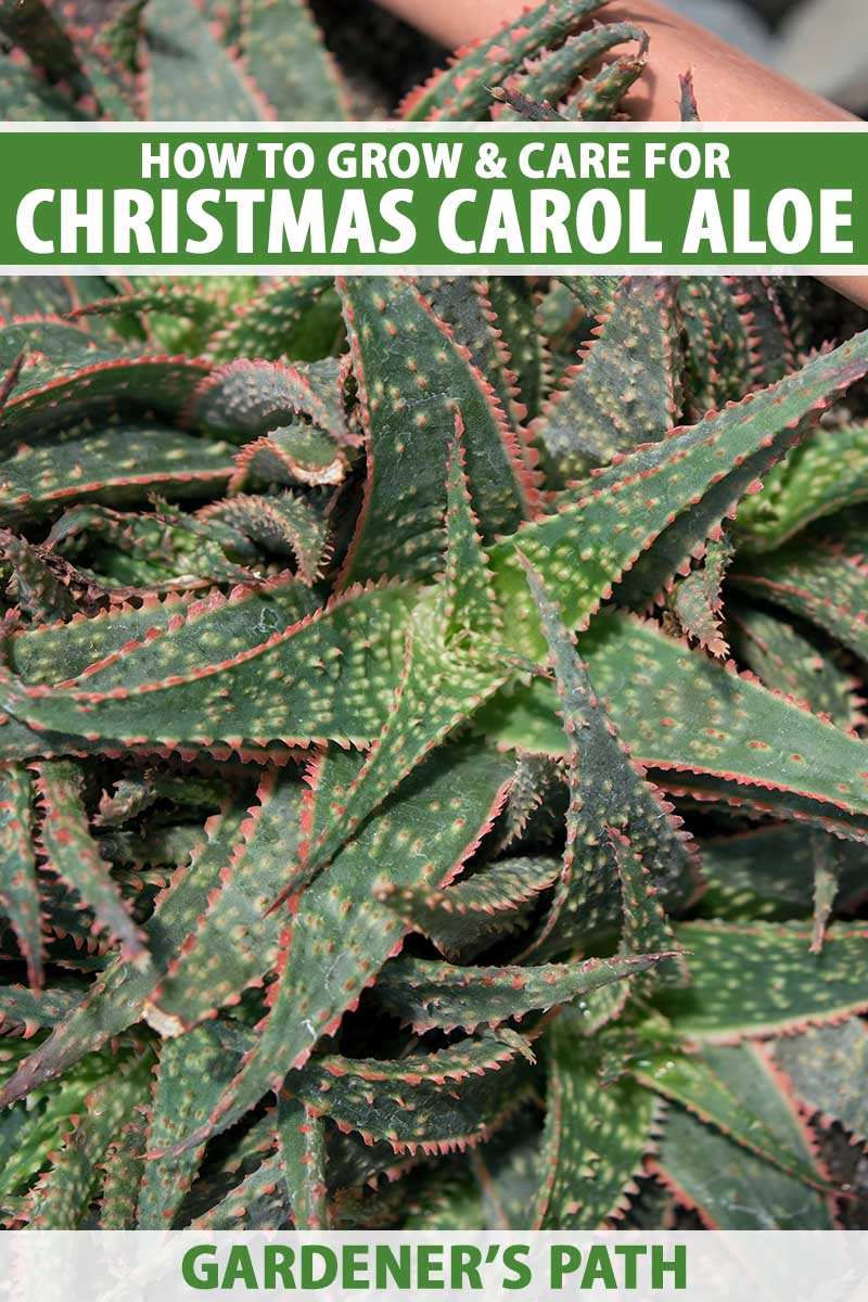 A close up vertical image of a green and red 'Christmas Carol' aloe plant growing in a terra cotta pot, pictured in light sunshine. To the top and bottom of the frame is green and white printed text.