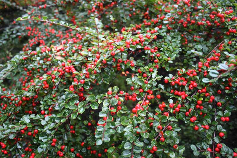 A close up horizontal image of the glossy green foliage and bright red berries of perennial cotoneaster shrubs growing in the garden.