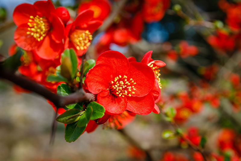 A close up horizontal image of bright red Chaenomeles flowers growing in the garden, pictured in bright sunshine on a soft focus background.