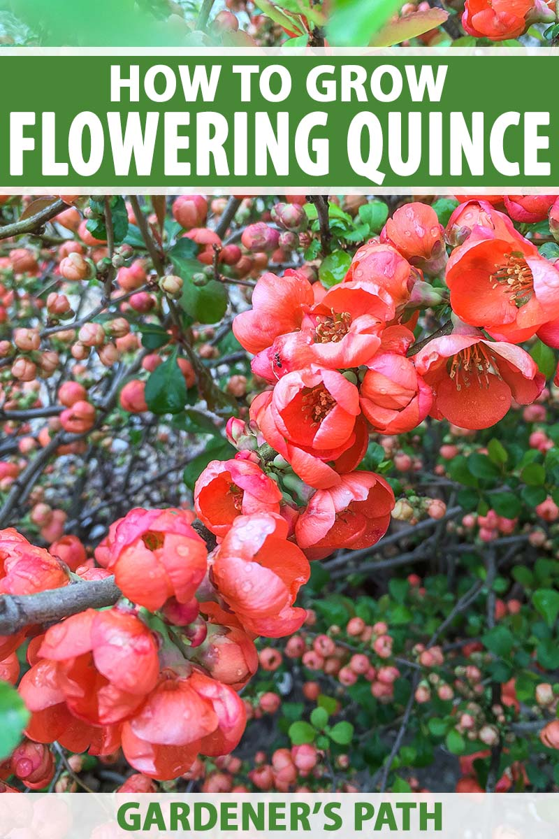 A close up vertical image of the bright red blossoms of flowering quince growing in the garden in spring. To the top and bottom of the frame is green and white printed text.