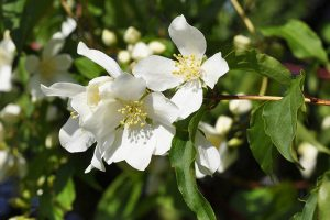 How to Grow and Care for Mock Orange (Philadelphus) Shrubs