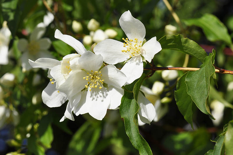 A close up horizontal image of mock orange flowers growing in the garden pictured on a soft focus background.