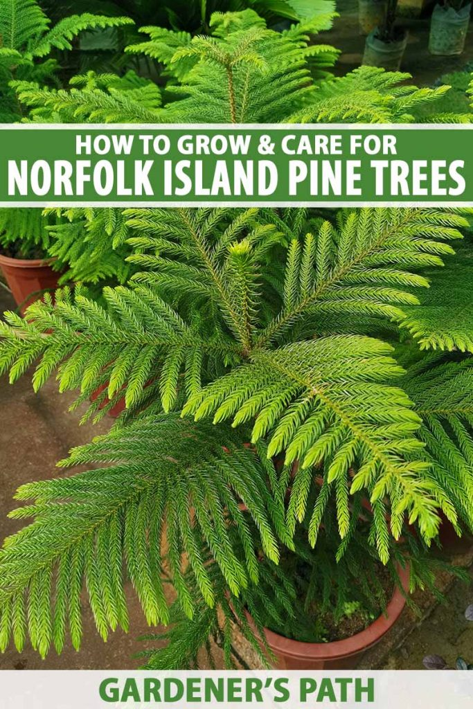 A close up vertical image of potted Norfolk Island pine trees growing in small pots indoors. To the top and bottom of the frame is green and white printed text.