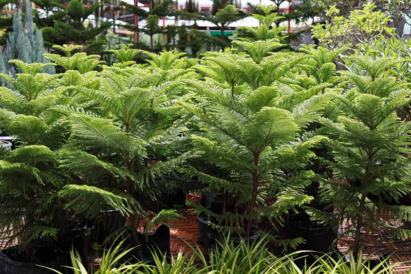 A close up horizontal image of Norfolk Island pine trees growing in containers indooors.