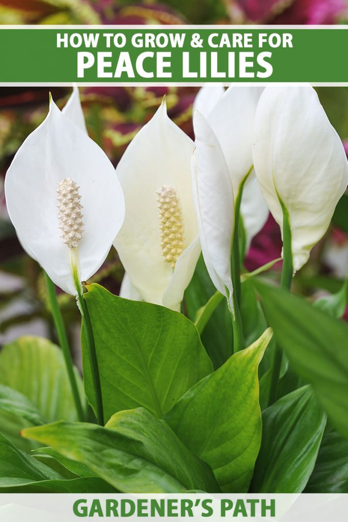 A close up vertical image of a large peace lily plant with dark green foliage and large white spathes, pictured on a soft focus background. To the top and bottom of the frame is green and white printed text.