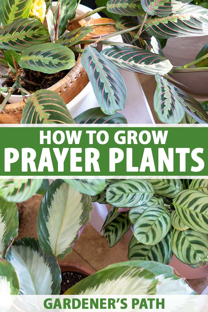 A close up vertical image of a variety of different prayer plants growing in pots in the home. To the center and bottom of the frame is green and white printed text.