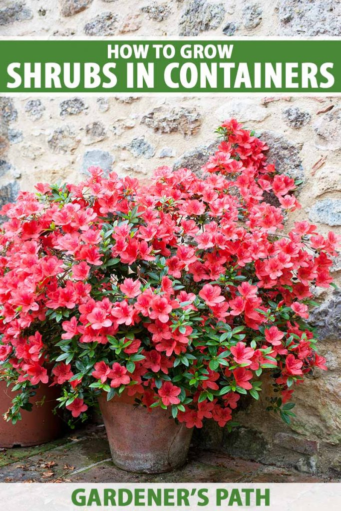 A close up vertical image of a bright red azalea bush growing in a terra cotta pot outside a stone residence. To the top and bottom of the frame is green and white printed text.
